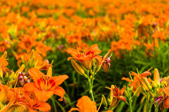daylilies-field-orange-red-hemerocallis-41058229